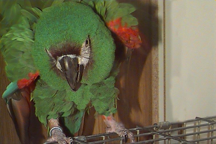 Brat the psychotic parrot